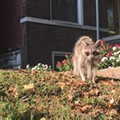 Diseased Raccoons Are Running Rampant in South City