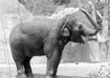 BILL  GREENBLATT/UPI - Sri the expectant elephant literally showers before her - weekend-long baby shower.