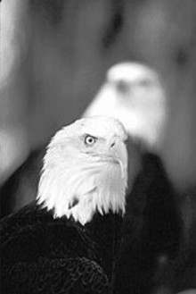 The American Bald Eagle: Symbol of freedom and - harbinger of winter on the Mississippi