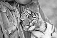 DAVID  KOSKAS - Big-screen catfight: Tiger cub Kumal gets top billing.