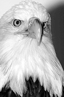 WORLD BIRD SANCTUARY - The bald eagle provides a regal flair to the folk - federation World's Fair Celebration.