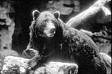 CHUCK DRESNER, SAINT LOUIS ZOO - Can you bear any more Lewis and Clark commemorations? Find out at the Delta Dental Winter Zoo.