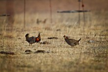 EARL RICHARDSON - For more photos, visit our slideshow Prairie Chickens Like to Cluck.