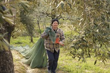 GEORGE CHRONIS - Workers at Olea Estates go through each of the 1,200 trees ten times during a harvest.