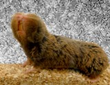 PHOTO PROVIDED - A blind mole rat.