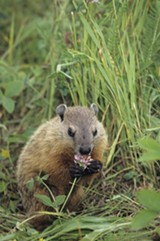 FILE PHOTO - City Council President Lovely Warren wants a plan for tackling Rochester's groundhog invasion.