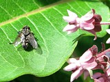 afa49cff_fly_on_leaf.jpg