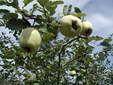 For the love of quince: fruit on the tree at Browns Berry Patch.