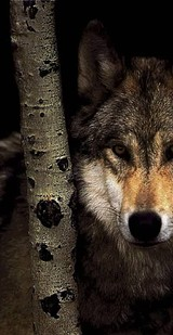 cee5c9f4_wolf2meetup.jpg