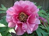 Leda in full bloom