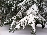 c0eb388e_snowy_tree.jpg