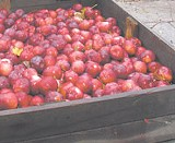 KURT BROWNELL - Schutts for cider! Apples from the fall harvest.