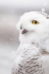 PHOTO BY CARRIE ANN GRIPPO-PIKE - Snowy owl sightings are being reported around Rochester.