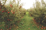 The Apple Farm in Victor grows 11 kinds of apples to pick through the end of October. - PHOTO BY MATT DETURCK