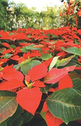 FILE PHOTO - The Highland Park Conservatory will host its annual poinsettia show starting November 23.