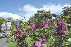 The Lilac Festival celebrates the - blooms in Highland Park. - FILE PHOTO