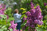 The Lilac Festival. - PHOTO BY MATT DETURCK