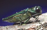 FILE PHOTO - Transporting firewood could spread the tree-killing emerald ash borer, a destructive invasive species.