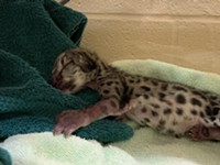 Officials announce birth of a new snow leopard cub at the Seneca Park Zoo