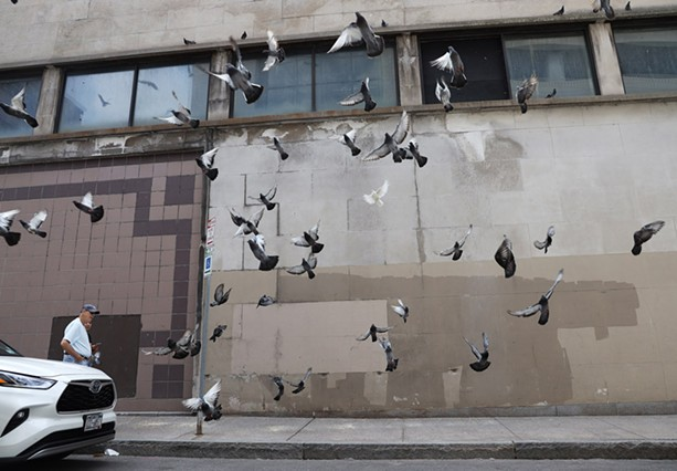 Rambunctious pigeons flock for their lunch on Division Street in downtown Rochester. - PHOTO BY MAX SCHULTE
