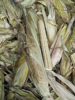 """""""White corn is a slower food source. It takes a while for the body to absorb and use,"""" Jemison says. - PHOTO PROVIDED"""