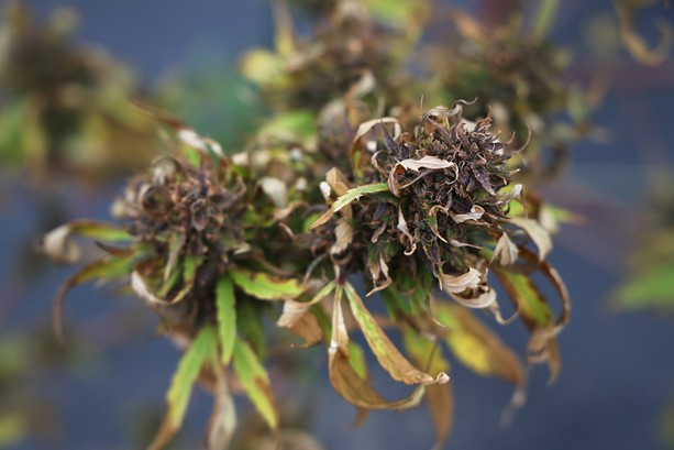 Dried hemp buds left on the plant. - PHOTO BY MAX SCHULTE