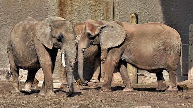Elephants at Seneca Park Zoo. - PHOTO BY WAYNE SMITH