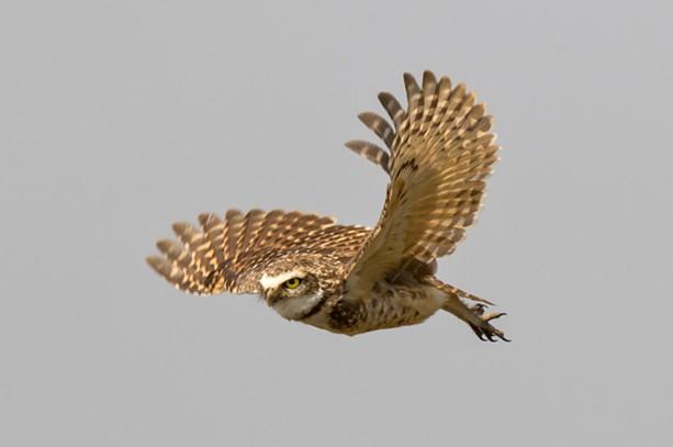 A burrowing owl in Pantanal Brazil. - PHOTO BY AARON WINTERS