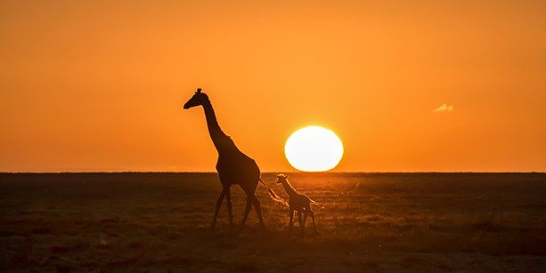 Giraffe and baby at sunrise in Tanzania. - PHOTO BY AARON WINTERS