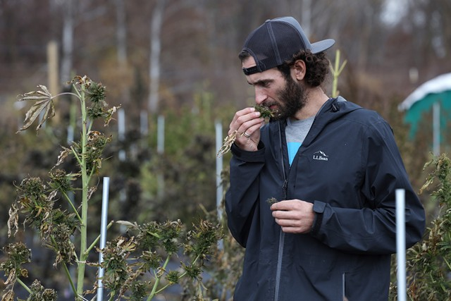 Zach Sarkis of Growing Family Farm inspecting the last bits of bud remaining on this year's hemp crop.