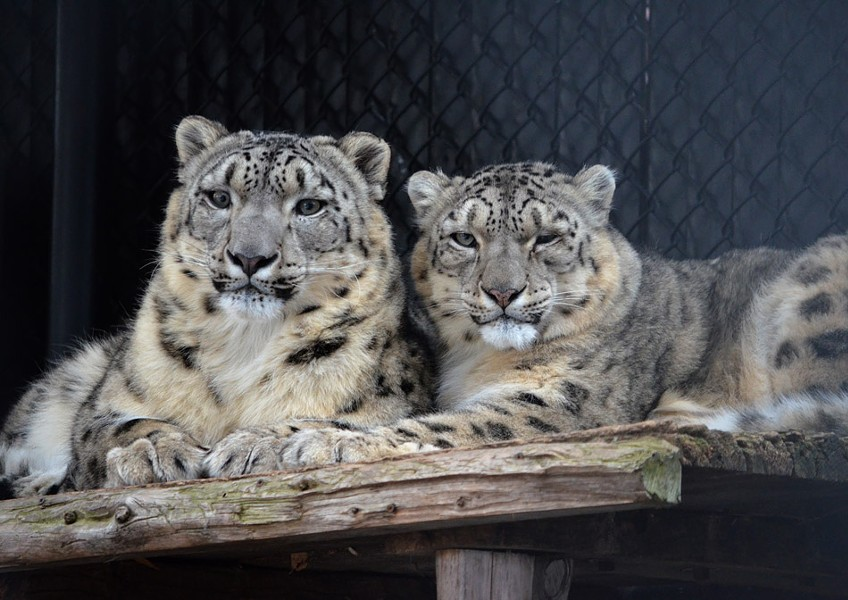 A pair of Seneca Park Zoo snow leopards nuzzle in an undated photo. - FILE PHOTO