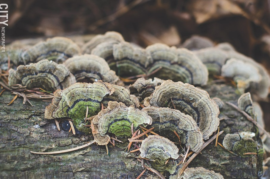 Turkey Tail mushrooms are quite common and take on a brown-to-gray feathery appearance, just like the name suggests. Their caps range in size from a quarter inch to 4 inches around. Though they're edible, many people prefer them for making tea. - PHOTO BY MARK CHAMBERLIN
