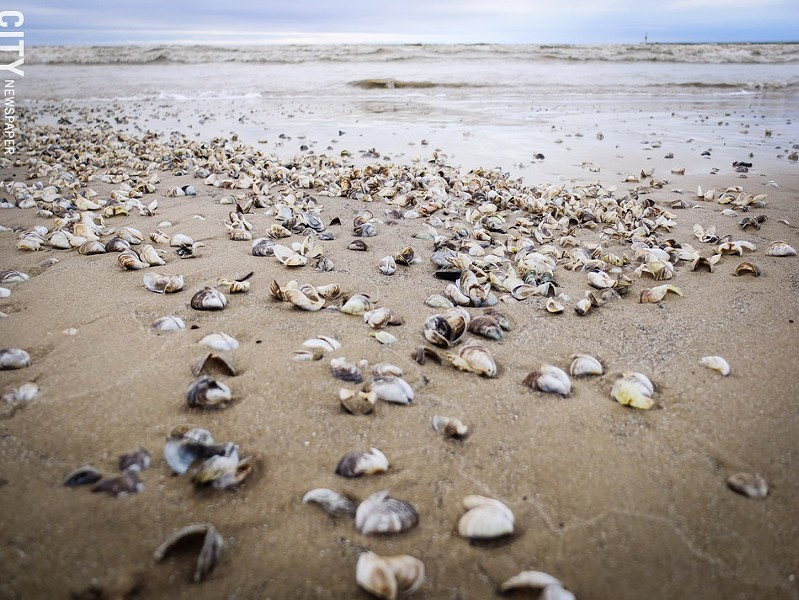 Shells from invasive zebra and quagga mussels continue to wash up on Ontario Beach. - PHOTO BY KEVIN FULLER
