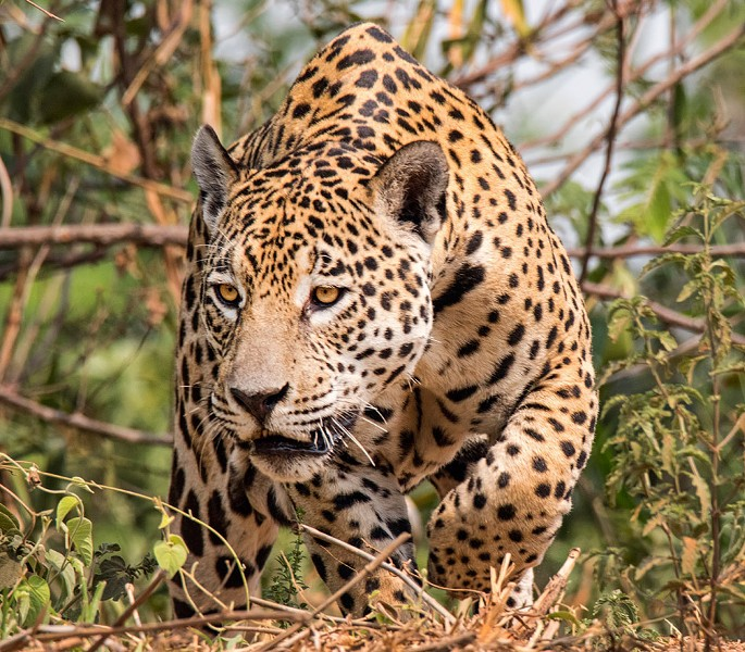 A jaguar in the Pantanal Brazil. - PHOTO BY AARON WINTERS