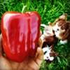 Fruition Seeds' Organic Peacework pepper.