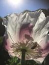 Light shines through an organic Ziar's Breadseed poppy at the Naples farm.