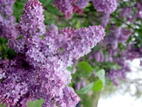 A very different Lilac Festival is around the corner