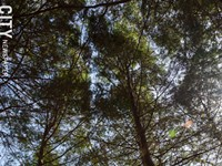 Volunteers needed to save Eastern hemlocks