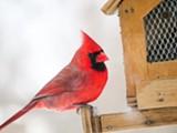 northern_cardinal_kk_k_rogers_gbbc_2015-high_20res.jpg