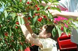 Varick Winery Cherry Picking - Uploaded by varick