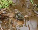 A Local Frog - Uploaded by Jeannie