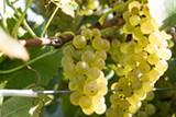hcvharvestgrapeswhite2019a.jpg