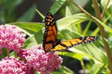 PROVIDED PHOTO - The Seneca Park Zoo is working with the State Department of Transportation to protect monarch butterfly habitat, especially milkweed, along a stretch of I-390 near Mt. Morris.