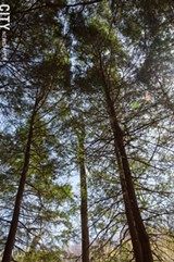 FILE PHOTO - Eastern hemlocks in the Finger Lakes area are threatened by woolly adelgid, a tiny insect capable of massive destruction.