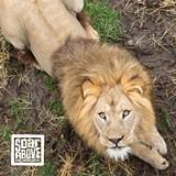 7a899749_lion_600x600.jpg