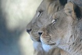 388f996a_wayne-smith-2017_lions.jpg