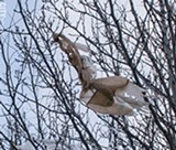 PHOTO BY RENE HEININGER - A sign of the coming springtime: a plastic grocery bag flapping in a tree.