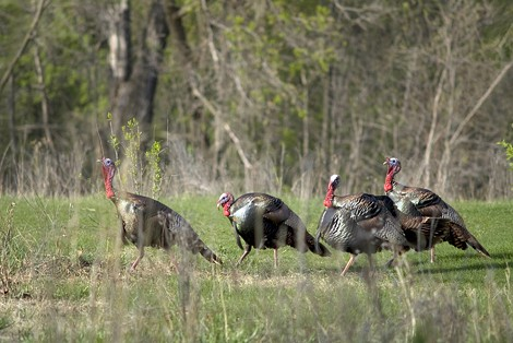 Wild turkeys, similar to the ones shown above, live in some of Brighton's parks and preserved lands. - FILE PHOTO