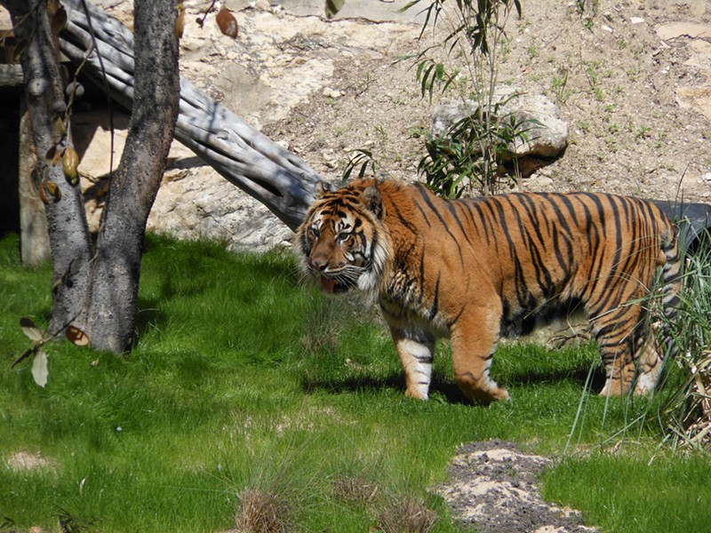 Raguno, a 14-year-old male Sumatran tiger passed away this week at the San Antonio Zoo. - COURTESY OF THE SAN ANTONIO ZOO