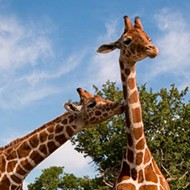 Adorable Twin Giraffes Celebrate First Birthday